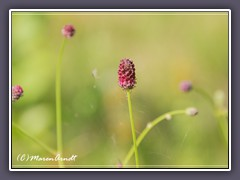 Sanguisorba-officinalis - Grosser-Wiesenknopf